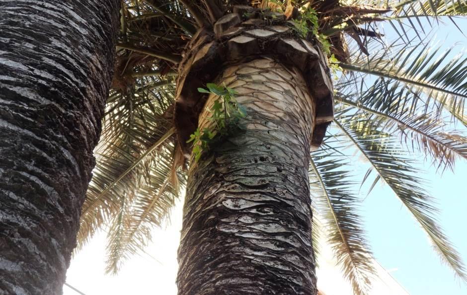 smokva palma