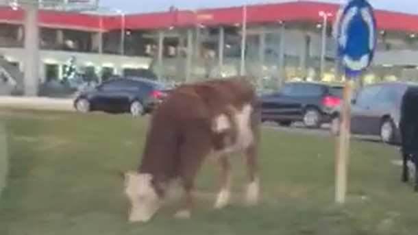Krave na Zabjelu