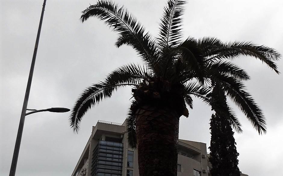Rat za palme: Ima li spasa od crvenog surlaša?