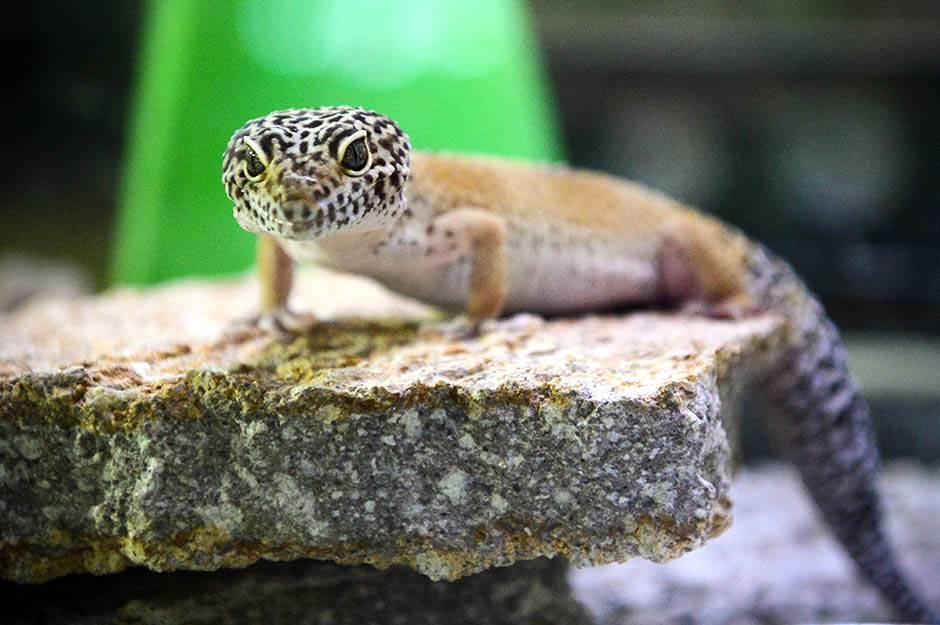 akvarijum, javni akvarijum, gušter, iguana, gmizavac,