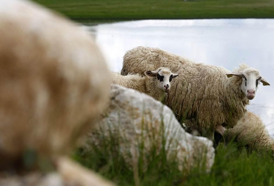 """""""Ne šaljite ovce tamo, POMRIJEĆE od vrućine"""""""