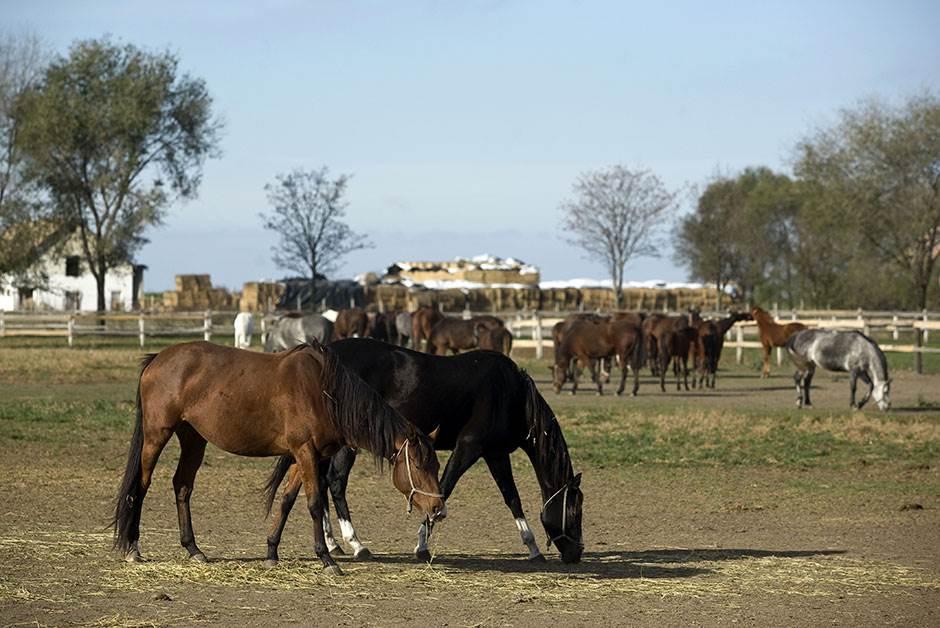 konj konji ergela konja kobila kobile farma