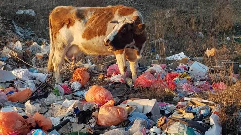 krava, smeće