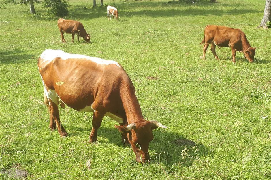 krava, krave, životinje, farma
