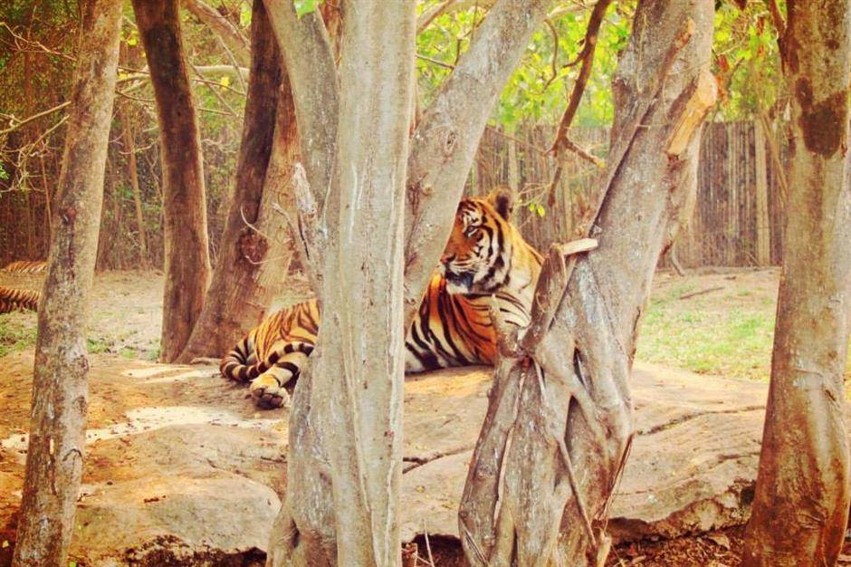 Jezivo: Raskomadali 11 tigrova zbog rituala!