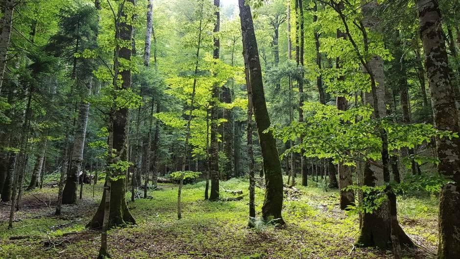 šuma, stabla, drveće, priroda, vremenska prognoza, zelenilo, drvo