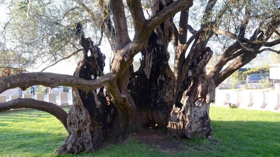 Stara barska maslina najstarije drvo na planeti!