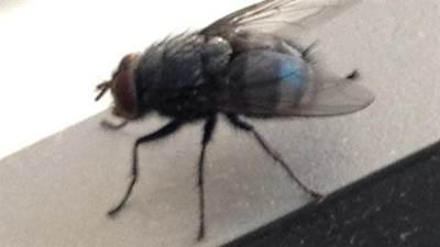 muva, insekti