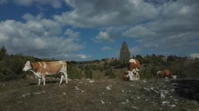 selo, druževići, zlatar, planina, domaćinstvo, pokrivalica, krave, krava, stado, priroda, proleće, leto, jesen