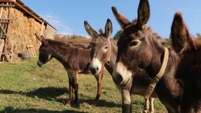 magarac, magarci, farma magaraca, selo, stoka, domaće životinje